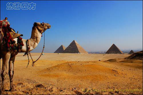 埃及巍巍金字塔下的神气大骆驼图片